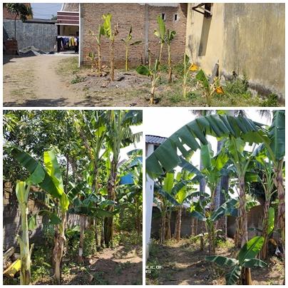 menanam pisang